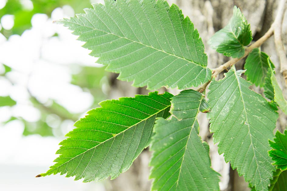 American Elm leaves are dark green and turn yellow in the fall. The edges of the leaves look jagged or toothed and the undersides of the leaves are rough.