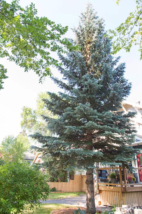 Colorado Spruce can grow to be about 50 - 75 feet tall with a spread of 10 to 20 feet when they are mature