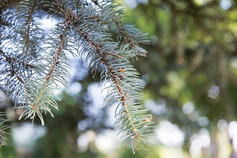 The needles of the Colorado Spruce are short, sharp, square, singular and stiff