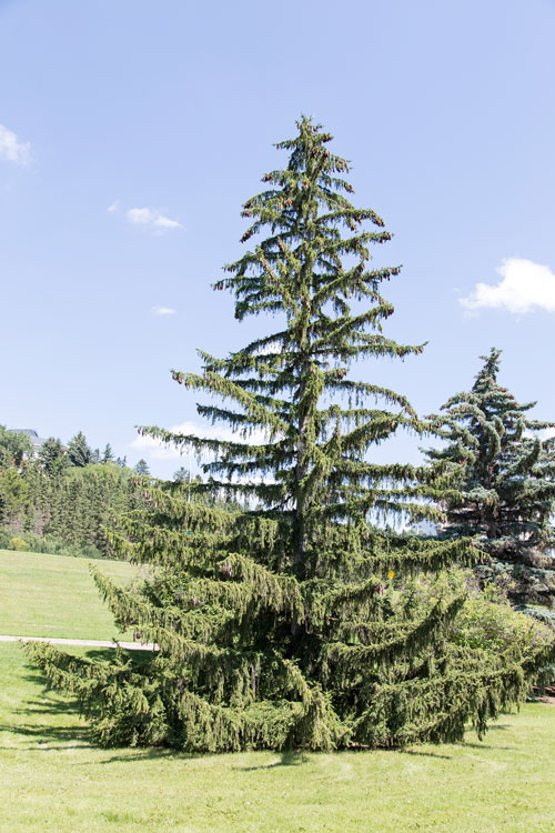 White Spruce are large, long-lived trees, normally growing to be between 15 to 30 metres tall.
