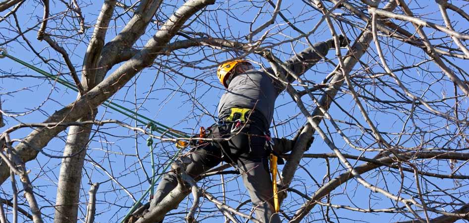 Arborist pruning tree