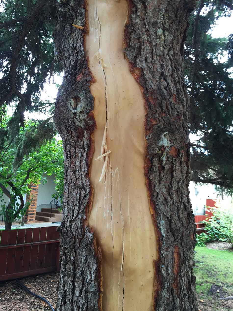 An old spruce tree that had been hit by lightning