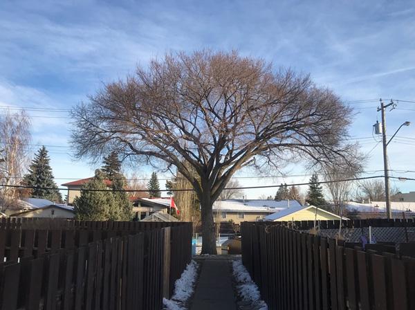 A well trimmed elm.